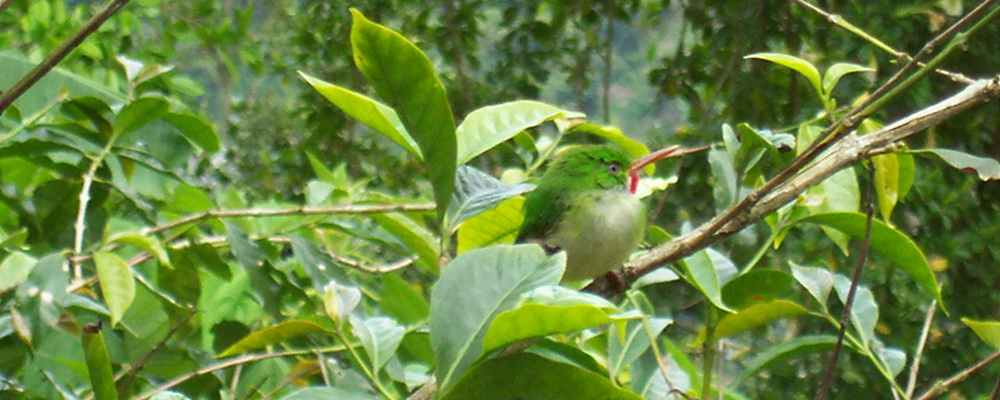 Jamaican Tody or Robin Redbreast